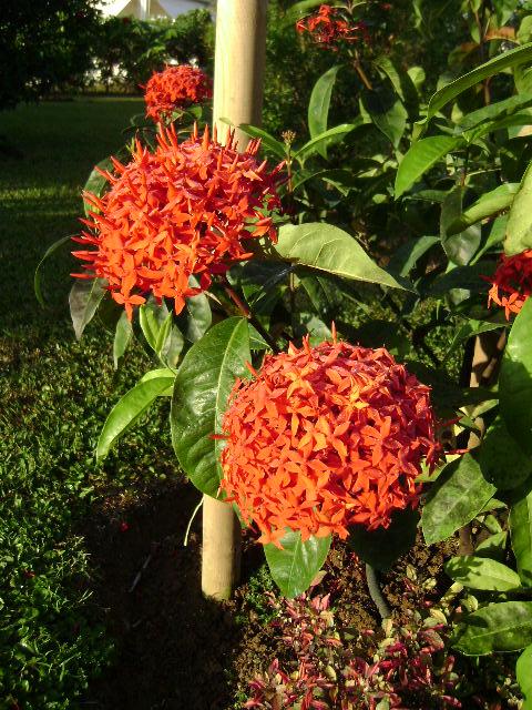 Fleur 1 ixora location bungalow jardin tropical